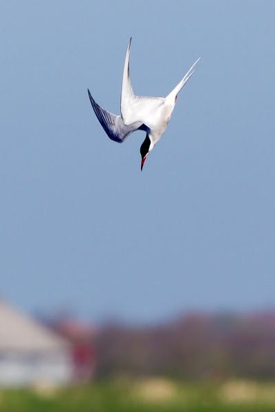 Fugle-Fjordterne-SternaHirundo-2012-05-03-_O7F0856-Danapix.jpg