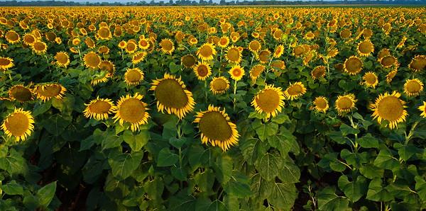 Sunflowers Along FM159, Grimes County, Texas
