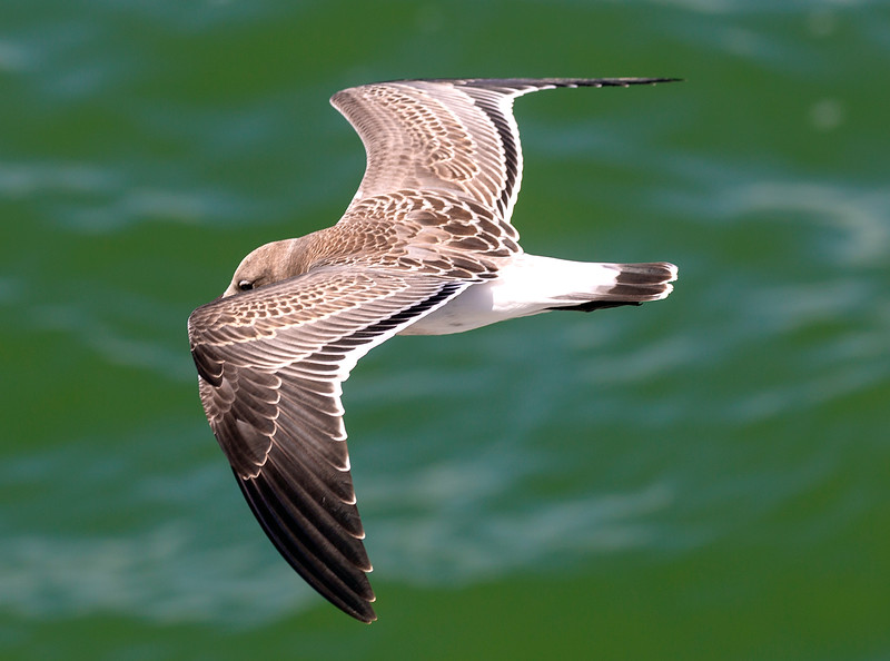 Juvenile American Herring Gull in flight