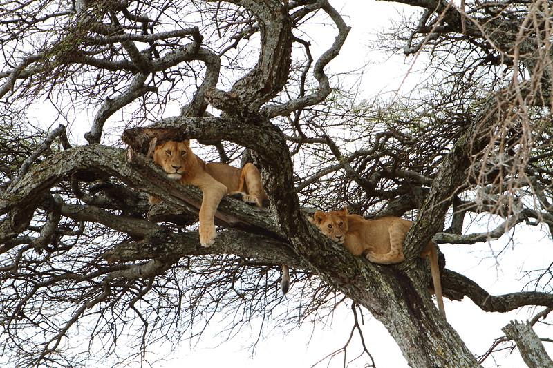 Lions in Tree.JPG