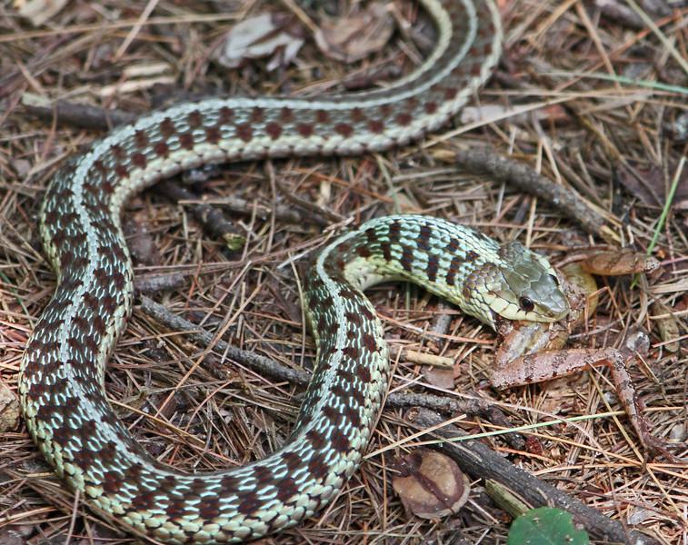 snake eating frog 4.jpg