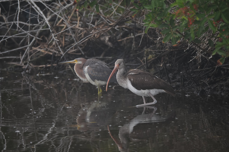 Tricolored Heron and a juvenile White Ibis