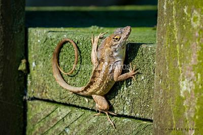 Anole Lizards: 2019