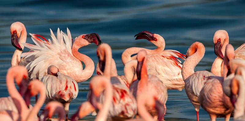 Lesser Flamingos (Phoenicopterus minor)