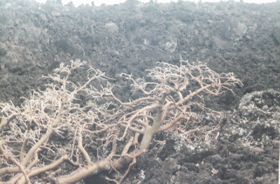 Erythrina on Maui