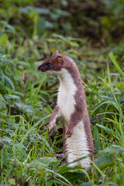 Stoat Hunting