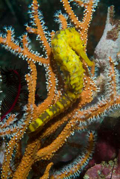 seahorse tiger tail.jpg