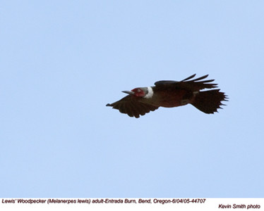 Lewis'WoodpeckerA44707.jpg