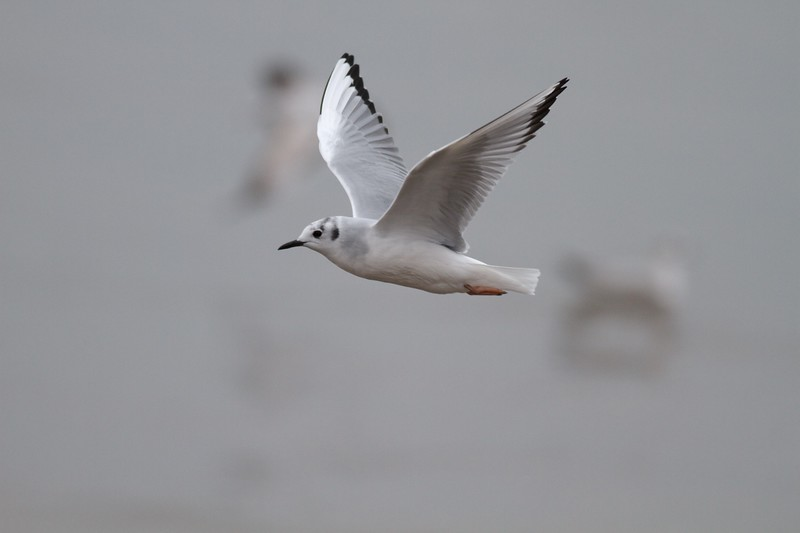 Bonaparte's Gull adult winter Superior Entry Wisconsin Point Douglas Co WI IMG_0428.jpg
