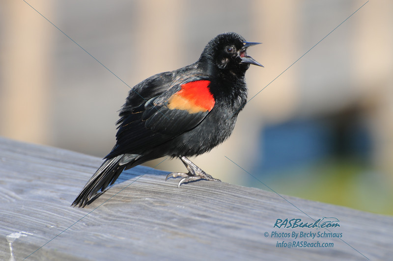 Red Wing Blackbird_300