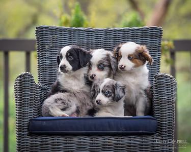 Ray's Aussie Puppies