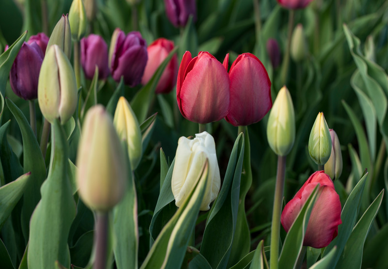 Multi-Colored Wicked Tulips_7668