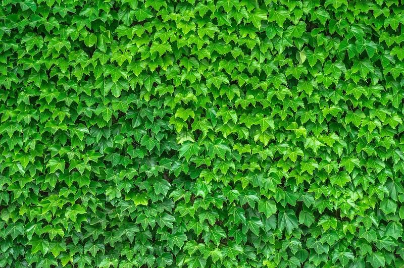 Ivy Wall 10x12.jpg