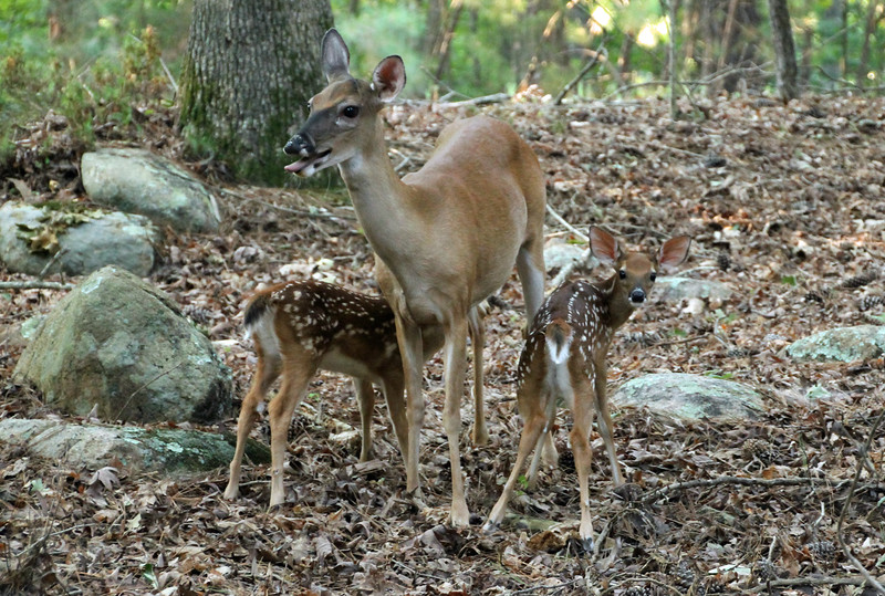 Does and two fawns