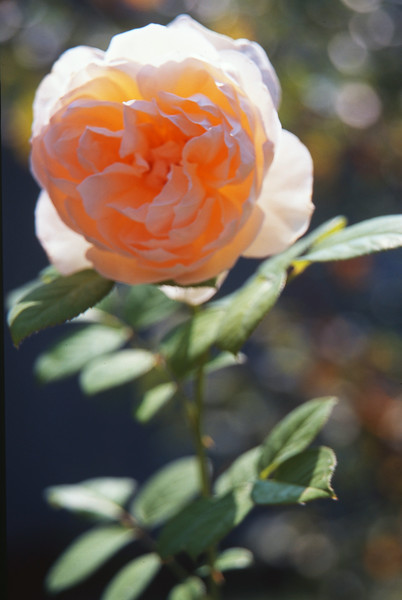 Avon Rose .2013.jpg
