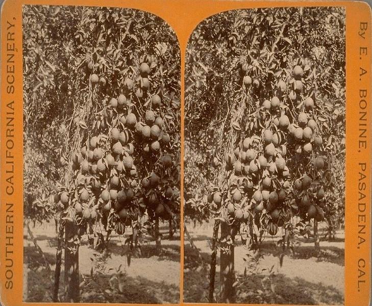Stereophraph-08-Pasadena-FruitPlantation.jpg