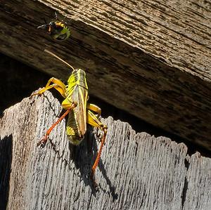 Insectes - Libellules -