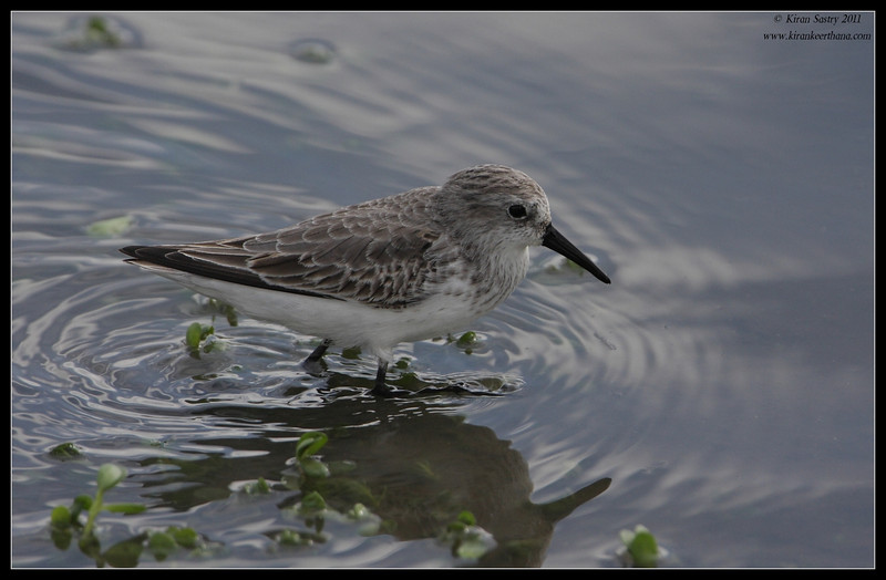 Western Sandpiper, Lindo Lake, San Diego County, California, November 2011