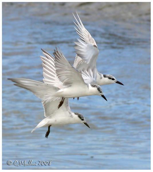 Terns, Noddies - Family: Sternidae