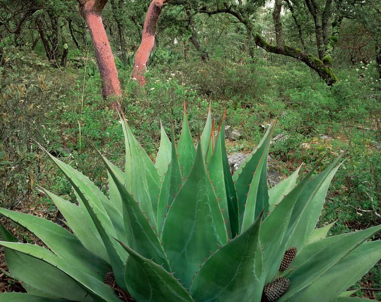 Tamaulipas, Mexico / Agave, Agave montana with  vivid colored and patterned blades with Madrone & Oak trees in the Sierra Madre Oriental. 1003H9