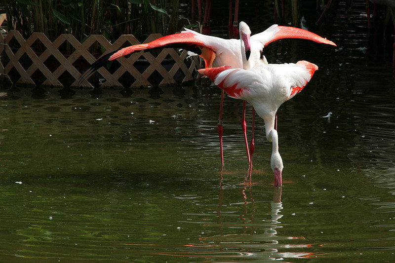 Kowloon Park, Flamingo