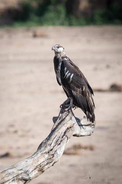 African Fish-Eagle (immature)