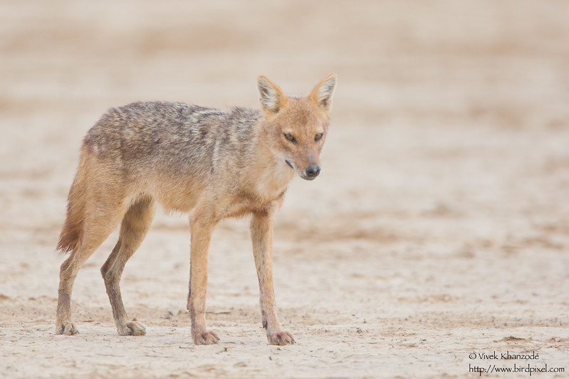 Golden Jackal - Kutch, Gujrat, India