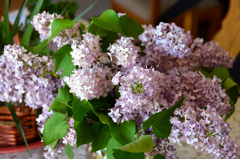 2012-4-30 ––– Lisa loves the smell of her lilac bushes when they bloom so she cut bunches and brought them in the house to enjoy. The blooms in the yard will be long gone before Mother's Day when they usually bloom.