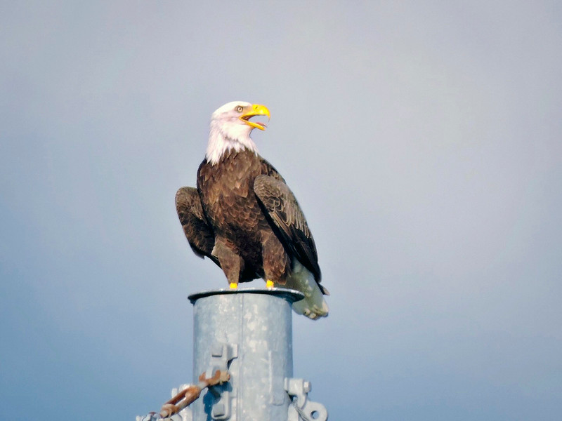 1_5_19 Eagle at Boca Ciega.jpg