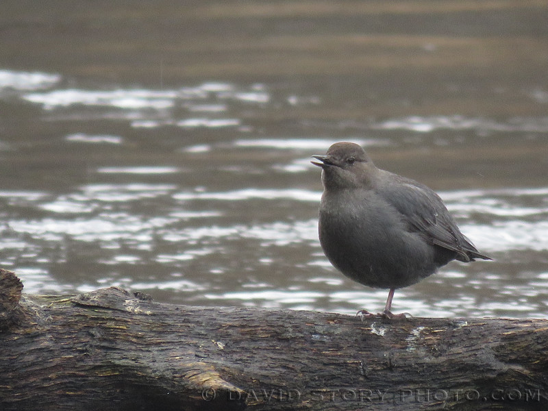 This Water Ouzel a.k.a. American Dipper has two legs.