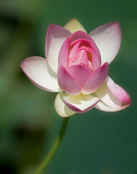 waterlily16.jpg