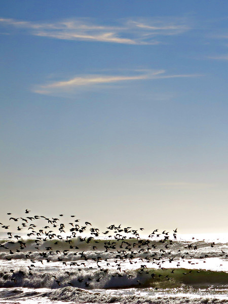 Shorebirds in flight 0158.jpg