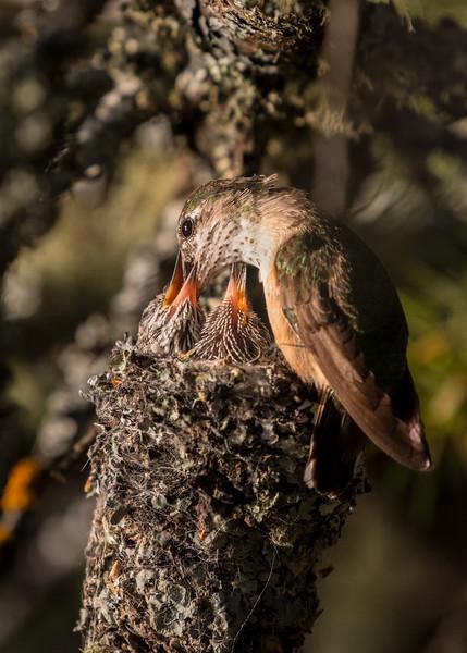 Calliope Hummingbird, Flathead Lake, Montana