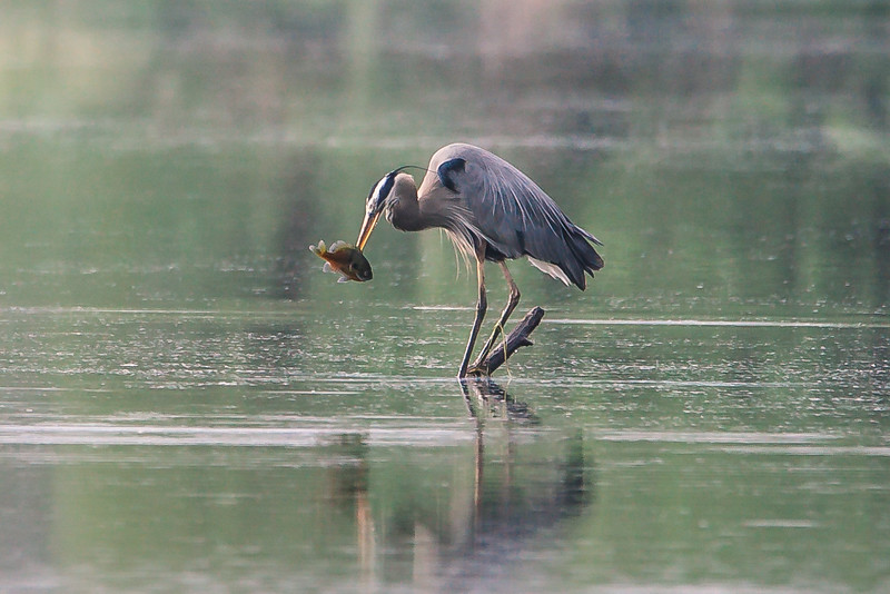 A Great Blue Heron fishes at the Celery Bog in West Lafayette, Indiana on May 15, 2018.