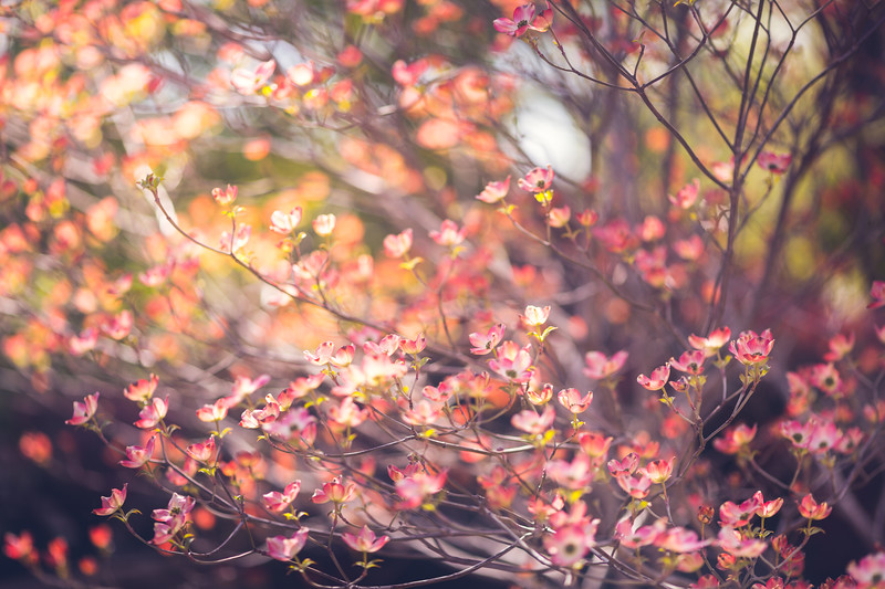 Spring '17 - Backyard Dogwood