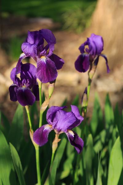 2013_05_12 Spring Flowers 007.jpg