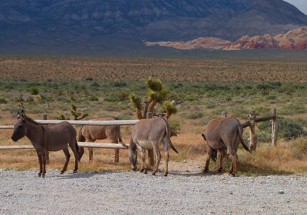 Bonnie Springs Wild Burros near Las vegas, NV