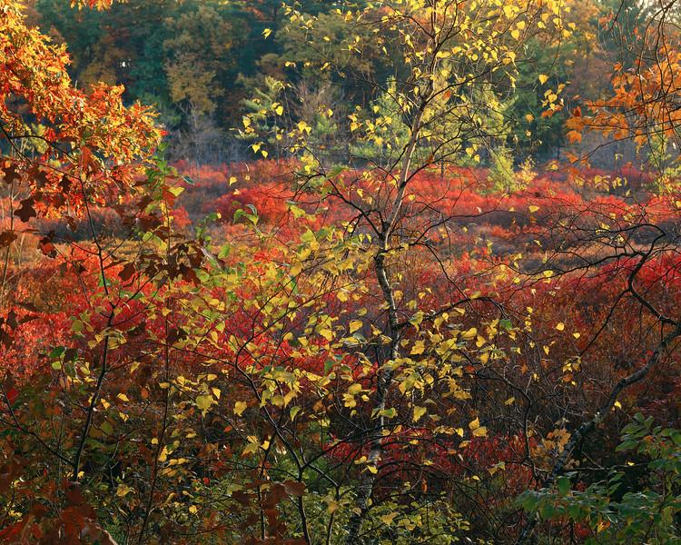 Birch Tree And Flood Plain