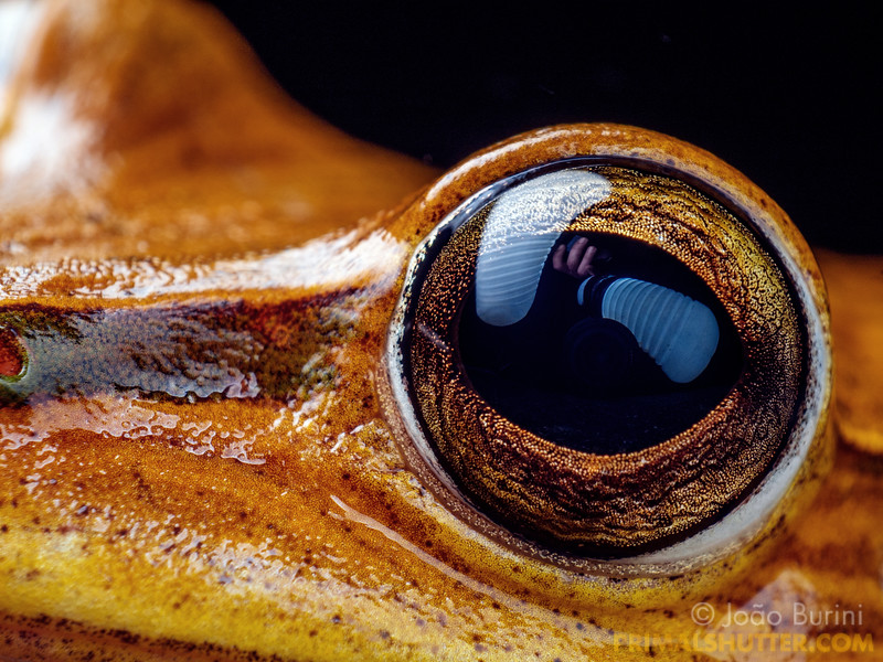 Eyes of a golden treefrog
