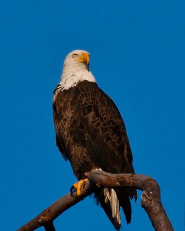 Baytown Bald Eagles of 2010