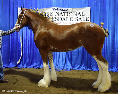 2015 National Clydesdale Sale