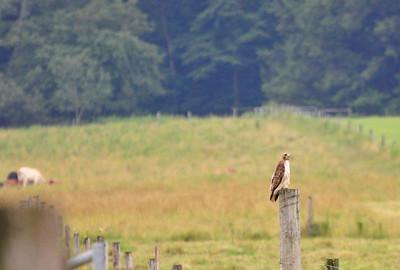 hawk 2010 july
