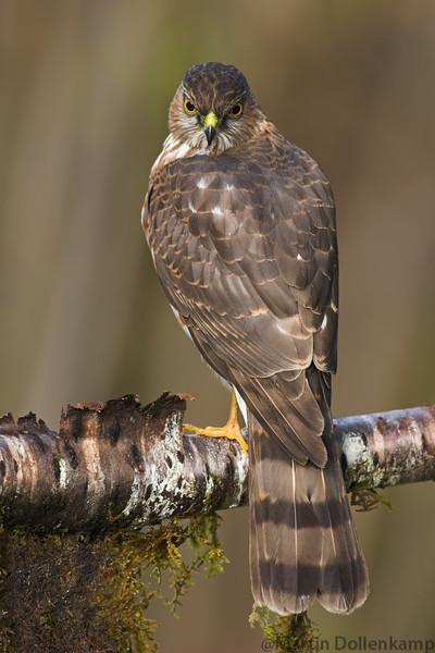 Sharp-shinned Hawk Accipiter striatus