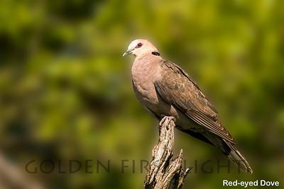 Red-eyed Dove, Kenya