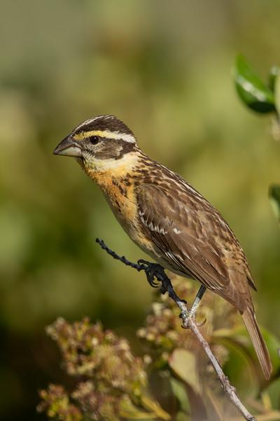 Black-headed Grosbeak - CA, USA
