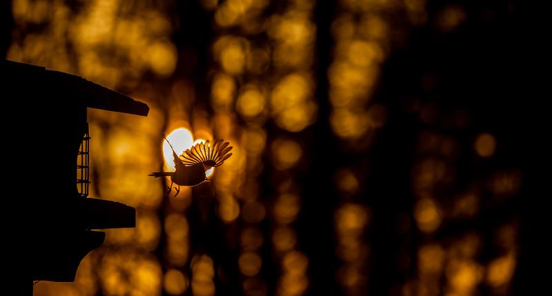 Black-capped Chickadee at feeder backlit backlighting Skogstjarna Carlton County MN  IMGC9385.jpg