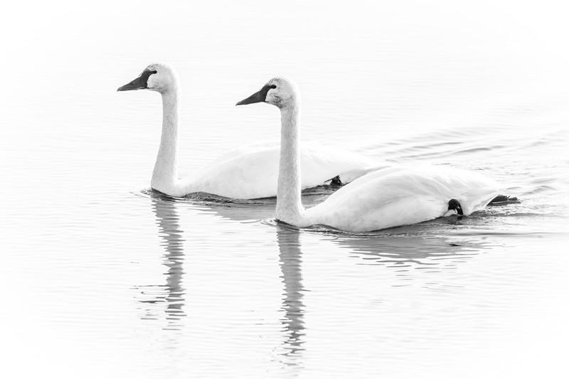 Swan pair BW