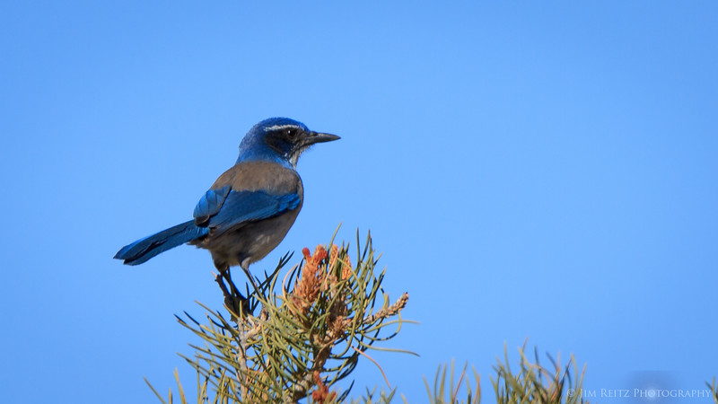 Western Scrub Jays in Joshua Tree National Park.