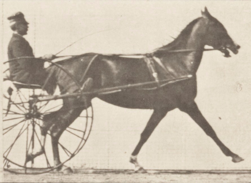 Horse Flode Holden trotting, harnessed to sulky with driver and breaking into a gallop