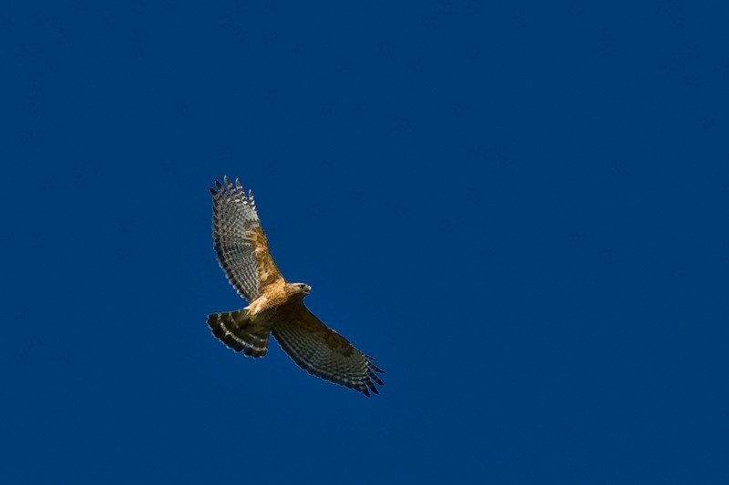 Zone Tailed Hawk-2987.jpg